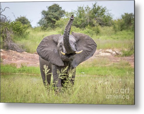Wildlife Metal Print featuring the photograph Trunk Up High by Jennifer Ludlum