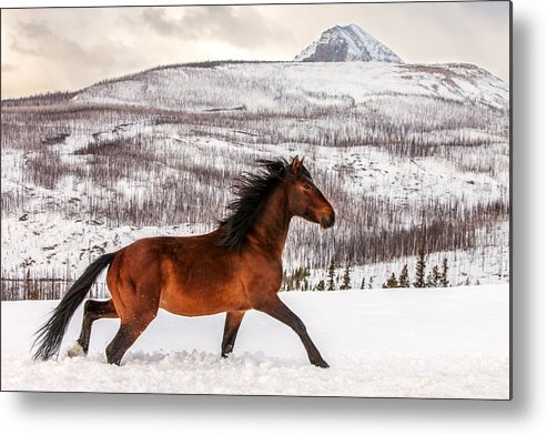 Wild; Horse; Animal; Running; Through; Snow; Mountains; Rocky Mountains; Glacier National Park; Browning; Montana; Mt; Outdoor; Winter; Snow; Snowy; Christmas; Side View; Feral; Wildlife; Stallion; Quarter Horse; Gallop; Galloping; Running; Cute; Beautiful; Blackfeet Nation; Horizontal; Copy Space; Clouds; Sky; Cloudy; Wilderness; Rural; Country; Countryside; Red; Brown; Forest; Action; Equine; Behavior; Wild West; Western; Native American; Nature; Cold; Free Roaming; Beauty; Motion; Best Metal Print featuring the photograph Wild Horse by Todd Klassy