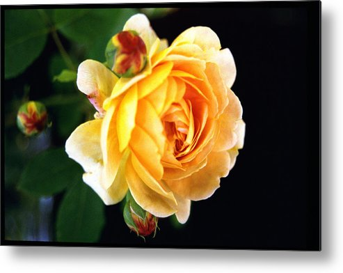 Rose Metal Print featuring the photograph Yellow Rose by Paul Trunk