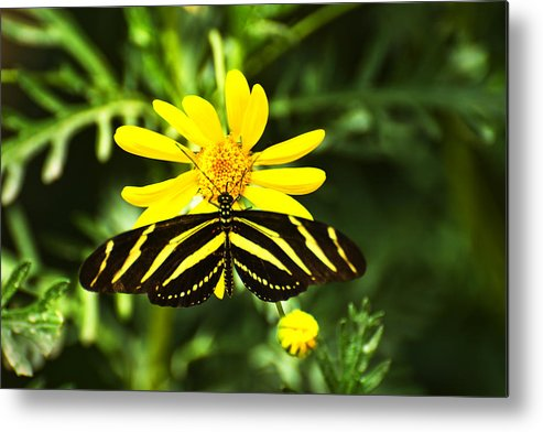 Butterfly Metal Print featuring the photograph Yellow Stripes on Yellow Flower by Richard Henne