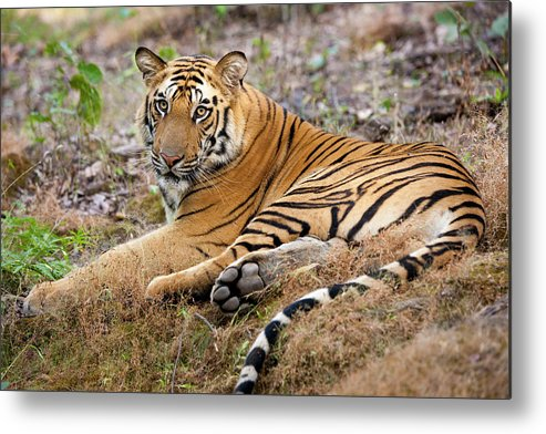 Looking Over Shoulder Metal Print featuring the photograph An Adult Tiger In Bandhavgarh National by Mint Images - Art Wolfe