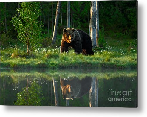 Big Metal Print featuring the photograph Big Brown Bear Walking Around Lake In by Ondrej Prosicky