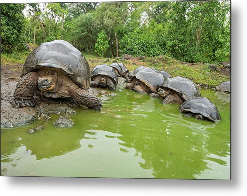 Animal Metal Print featuring the photograph Creep Of Indefatigable Island Tortoises by Tui De Roy
