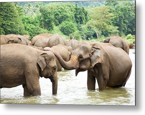 Animals In The Wild Metal Print featuring the photograph Elephants In River by Lp7