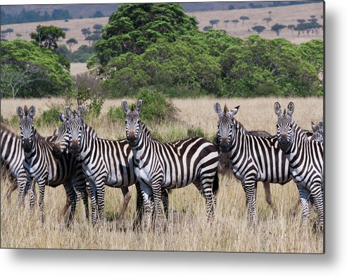 Scenics Metal Print featuring the photograph Grants Zebras, Kenya by Mint Images/ Art Wolfe