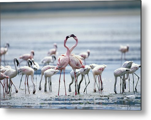 Tanzania Metal Print featuring the photograph Lesser Flamingoes Phoeniconaias Minor by Paul Souders