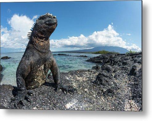 Animals Metal Print featuring the photograph Marine Iguana Basking On Coast by Tui De Roy