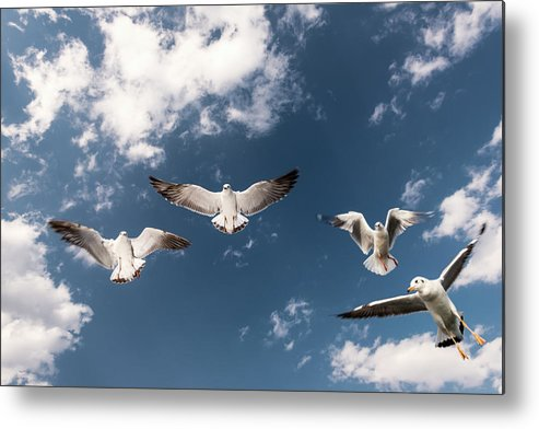 Animal Themes Metal Print featuring the photograph Myanmar, Inle Lake, Seagulls Inflight by Martin Puddy