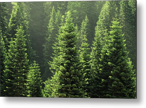 Scenics Metal Print featuring the photograph Pine Tree by Petekarici