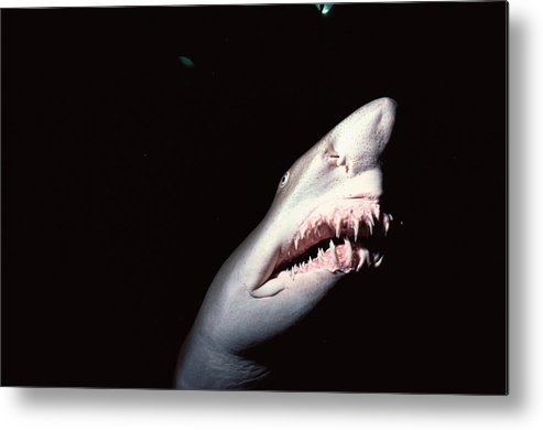 Underwater Metal Print featuring the photograph Sand Tiger Shark by Jeff Rotman
