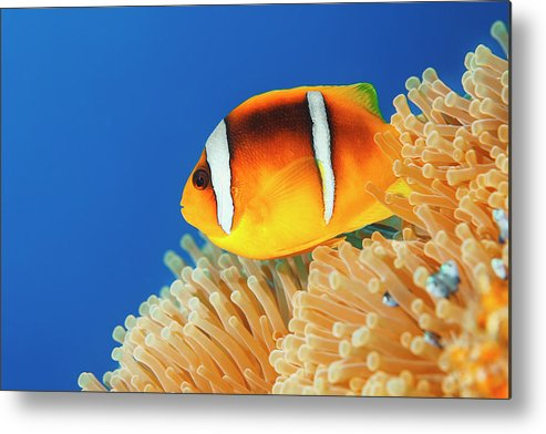 Underwater Metal Print featuring the photograph Sea Life - Anemone Clownfish by Ultramarinfoto