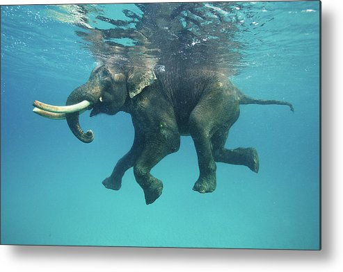 Underwater Metal Print featuring the photograph Swimming Elephant by Mike Korostelev Www.mkorostelev.com