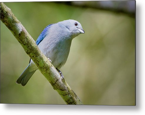Colombia Metal Print featuring the photograph Blue-gray Tanager San Jorge Ibague Colombia by Adam Rainoff