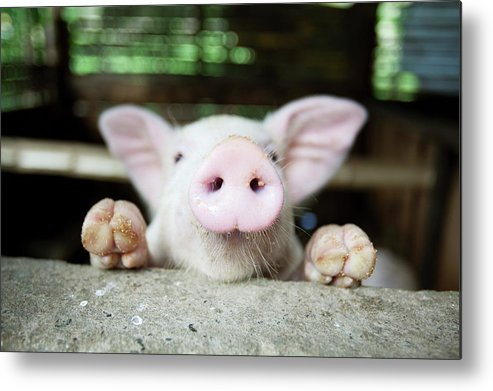 Negros Oriental Metal Print featuring the photograph A Baby Pig In Its Pen by Design Pics / Deddeda