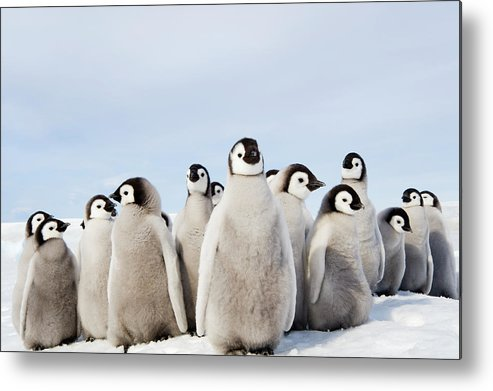Emperor Penguin Metal Print featuring the photograph A Nursery Group Of Emperor Penguin by Mint Images - David Schultz