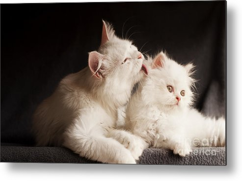 Cleaning Metal Print featuring the photograph Adorable White Persian Cats Mother by Dreambig