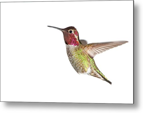 Hanging Metal Print featuring the photograph Annas Hummingbird - Male, White by Birdimages