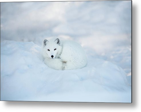 Svalbard Islands Metal Print featuring the photograph Arctic Fox Resting In The Snow by Seppfriedhuber