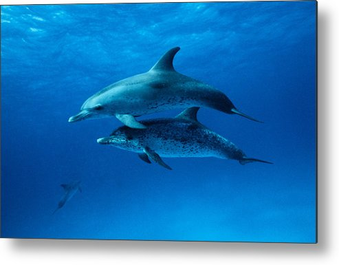 Color Image Metal Print featuring the photograph Atlantic Spotted Dolphins,stenella by Gerard Soury