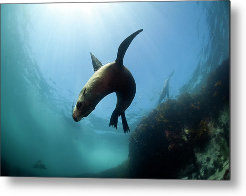 Underwater Metal Print featuring the photograph Australian Fur Seal With Sun Burst by Alastair Pollock Photography