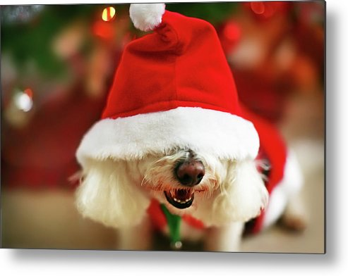 Pets Metal Print featuring the photograph Bichon Frise Dog In Santa Hat At by Nicole Kucera