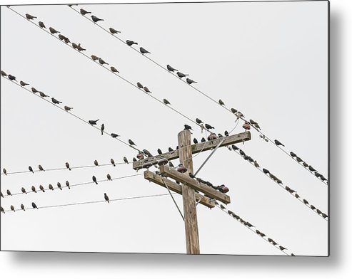 In A Row Metal Print featuring the photograph Birds Perched On Wires by David Madison