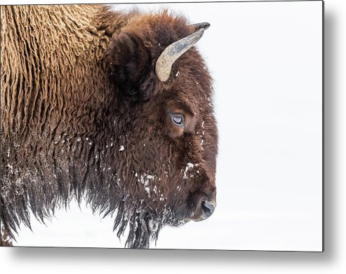 Vertebrate Metal Print featuring the photograph Bison In Winter by Kencanning