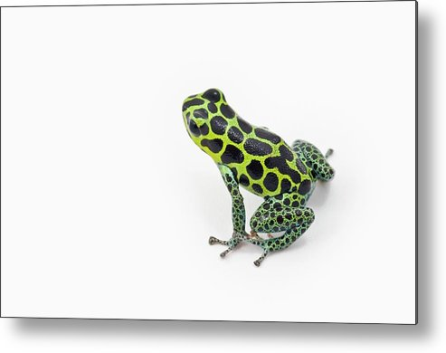 White Background Metal Print featuring the photograph Black Spotted Green Poison Dart Frog by Design Pics / Corey Hochachka