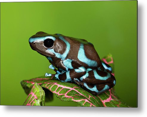 Animal Themes Metal Print featuring the photograph Blue And Black Dart Frog, Dendrobates by Adam Jones