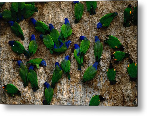 Blue Headed Parrot Metal Print featuring the photograph Blue-headed And Barrabands Parrots by Art Wolfe