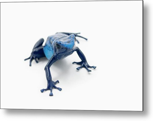 Risk Metal Print featuring the photograph Blue Poison Dart Frog Dendrobates by Design Pics / Corey Hochachka