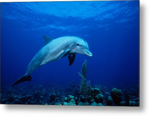 Underwater Metal Print featuring the photograph Bottlenose Dolphin,tursiops by Gerard Soury