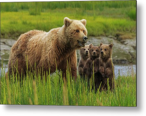Brown Bear Metal Print featuring the photograph Brown Bear Sow And Cubs, In The Long by Mint Images - Art Wolfe