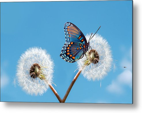 Animal Themes Metal Print featuring the photograph Butterfly On Dandelion by Maria Wachala