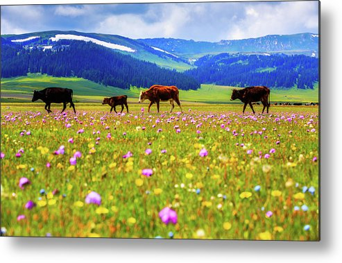 Tranquility Metal Print featuring the photograph Cattle Walking In Grassland by Feng Wei Photography