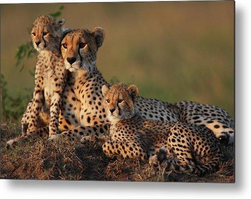 Kenya Metal Print featuring the photograph Cheetah Family by Gp232
