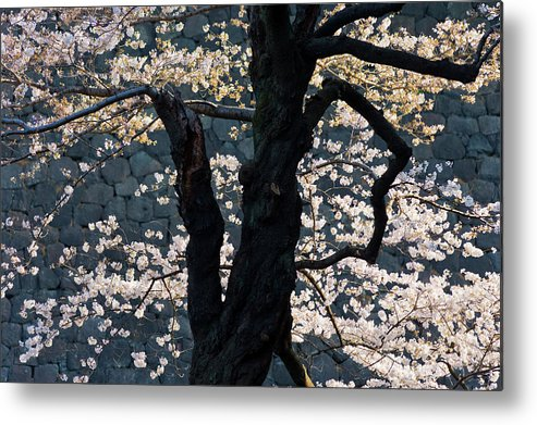 Tranquility Metal Print featuring the photograph Cherry Blossoms At The Imperial Palace by B. Tanaka