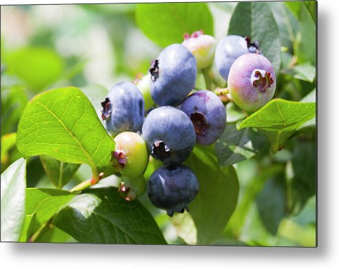 Yamanashi Prefecture Metal Print featuring the photograph Close-up Of Blueberry Plant And Berries by Daisuke Morita