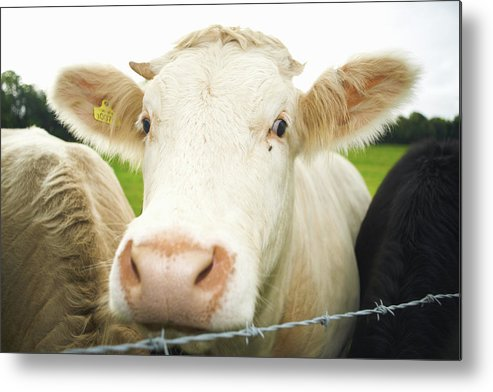 Free Range Metal Print featuring the photograph Close Up Of Cows Face by Peter Muller
