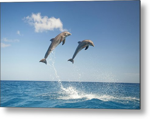 Aerodynamic Metal Print featuring the photograph Common Bottlenose Dolphins Tursiops by Mike Hill