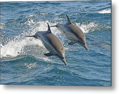 Diving Into Water Metal Print featuring the photograph Common Dolphins Leaping by Tim Melling