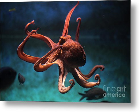 Octopus Metal Print featuring the photograph Common Octopus Octopus Vulgaris by Vladimir Wrangel