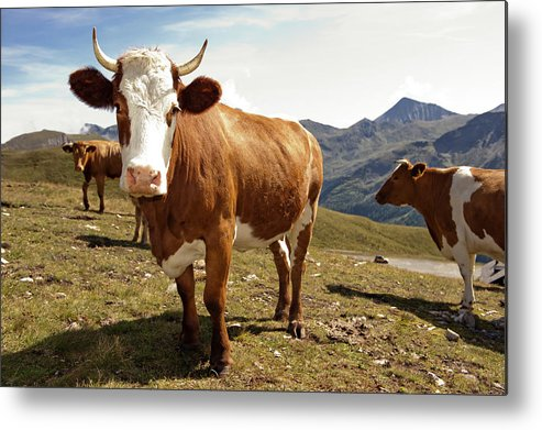 Tranquility Metal Print featuring the photograph Cows,mount Grossglockner High Alpine by Buero Monaco