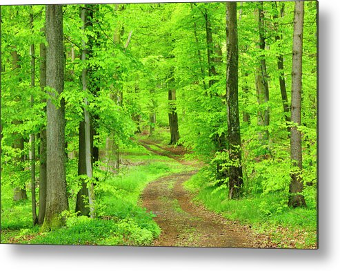 Environmental Conservation Metal Print featuring the photograph Dirt Road Through Lush Beech Tree by Avtg