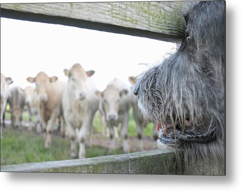 Alertness Metal Print featuring the photograph Dog Watching Cows Through Fence by Cecilia Cartner