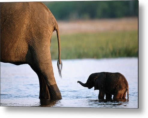 Following Metal Print featuring the photograph Elephant Loxodanta Africana Calf by Paul Souders