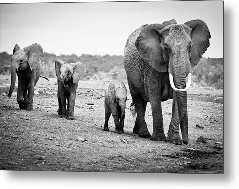 Kenya Metal Print featuring the photograph Female African Elephant by Cedric Favero
