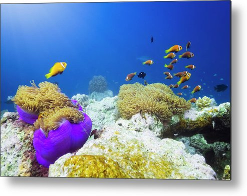 Underwater Metal Print featuring the photograph Finding Nemo by Cinoby