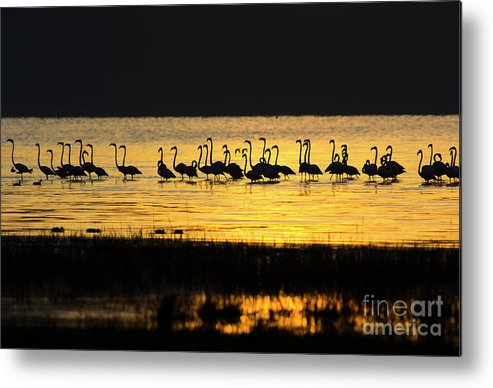 Water's Edge Metal Print featuring the photograph Flamingos At Dawn by Wldavies