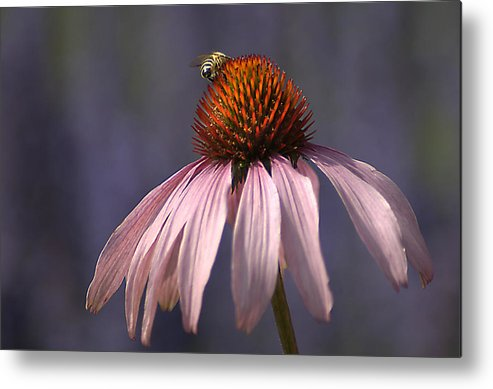 Insect Metal Print featuring the photograph Flower And Bee by Bob Van Den Berg Photography